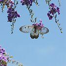 Clearwing Swallowtail, Cressida cressida on flowering Geisha Girl. by peterstreet
