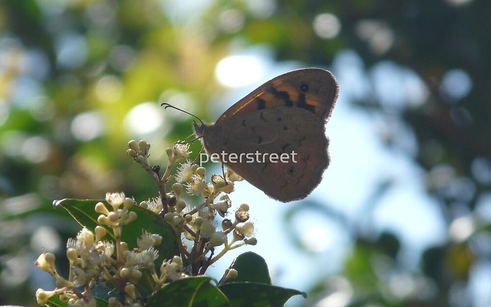 Common Brown Butterfly, Heteronympha merope by peterstreet