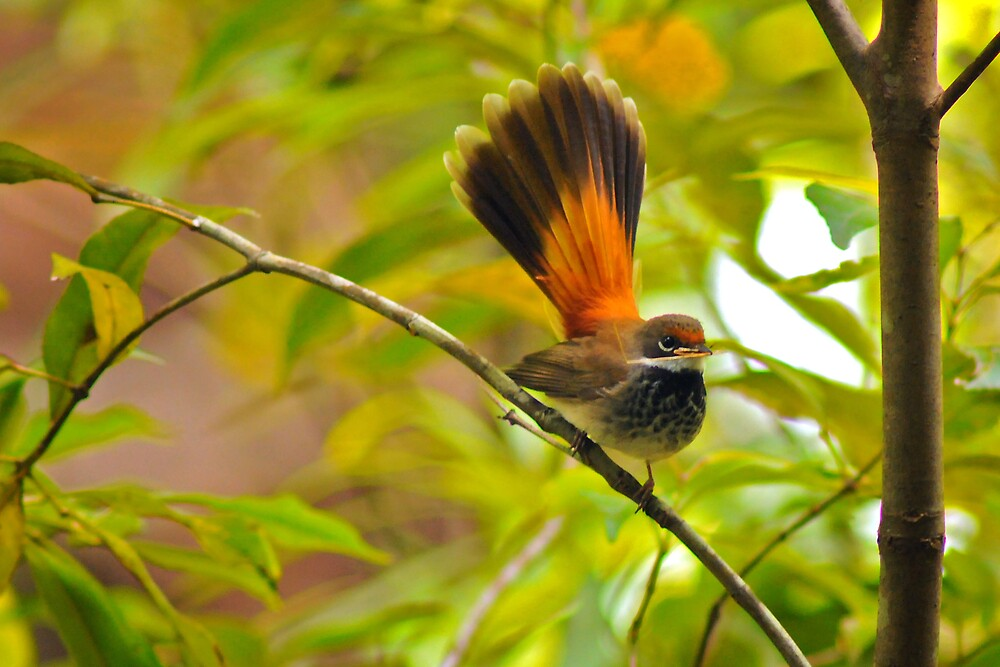 Rufous Fantail by Jonathan Dael