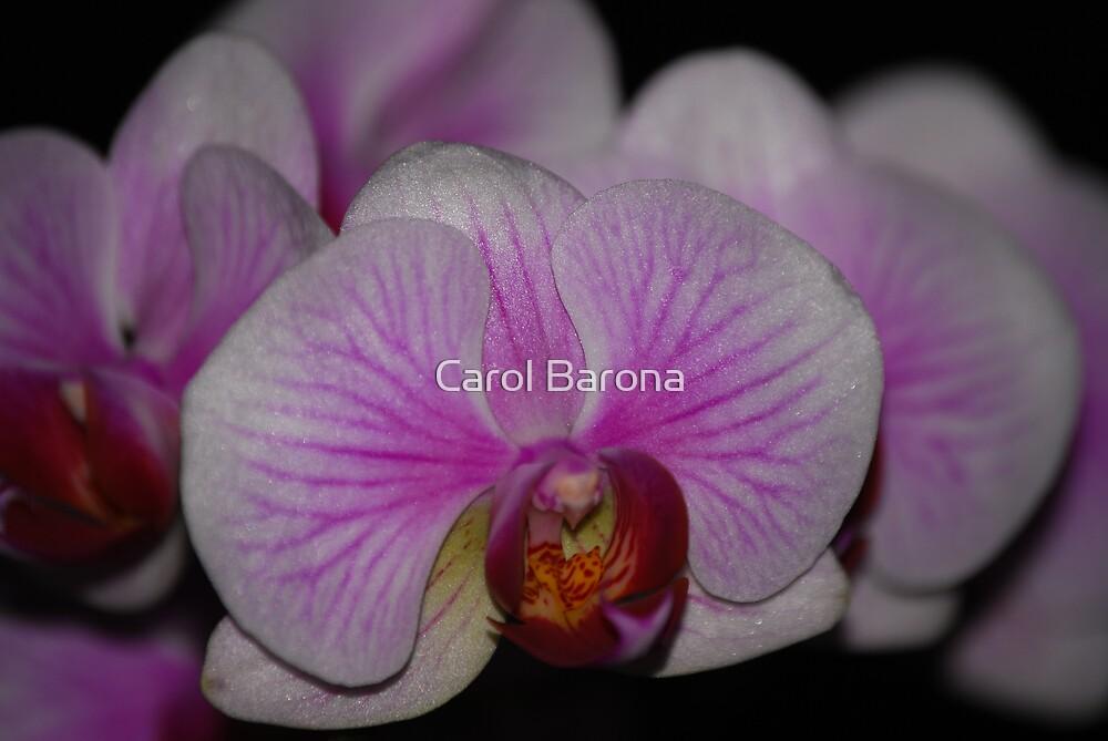Orchid Beauty by Carol Barona