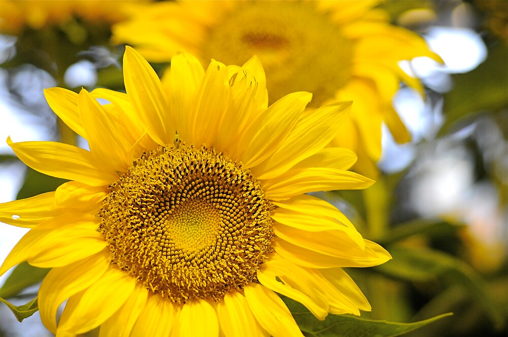 Sunny by PixCrazy