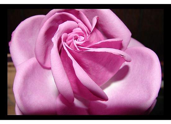 Rose shadow by danabee