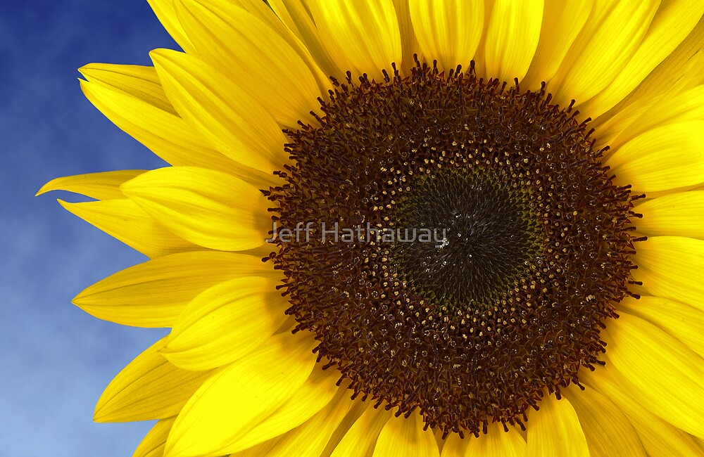 Bright Yellow Sunflower by Jeff Hathaway