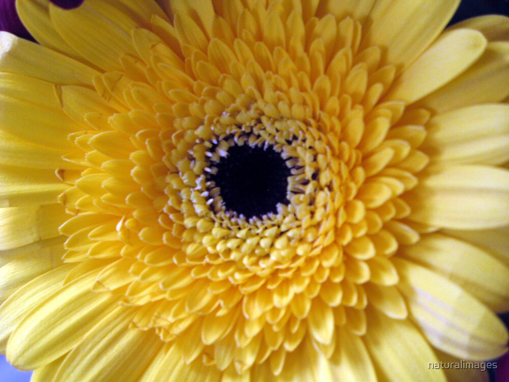 Gerbera by naturalimages