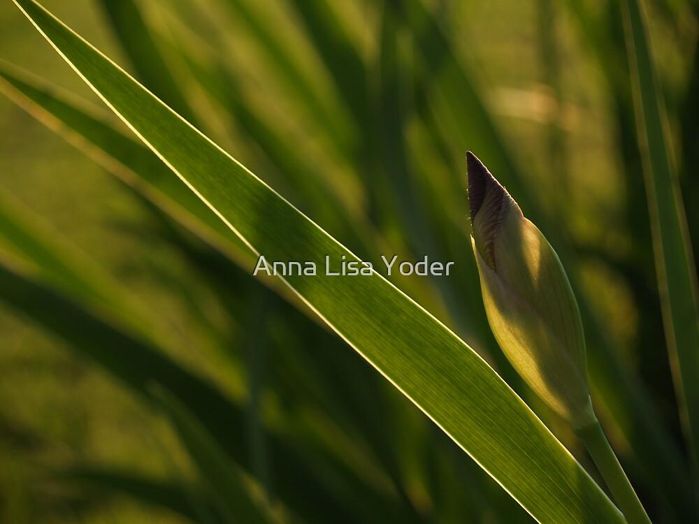 Back-lit Iris Bud by Anna Lisa Yoder