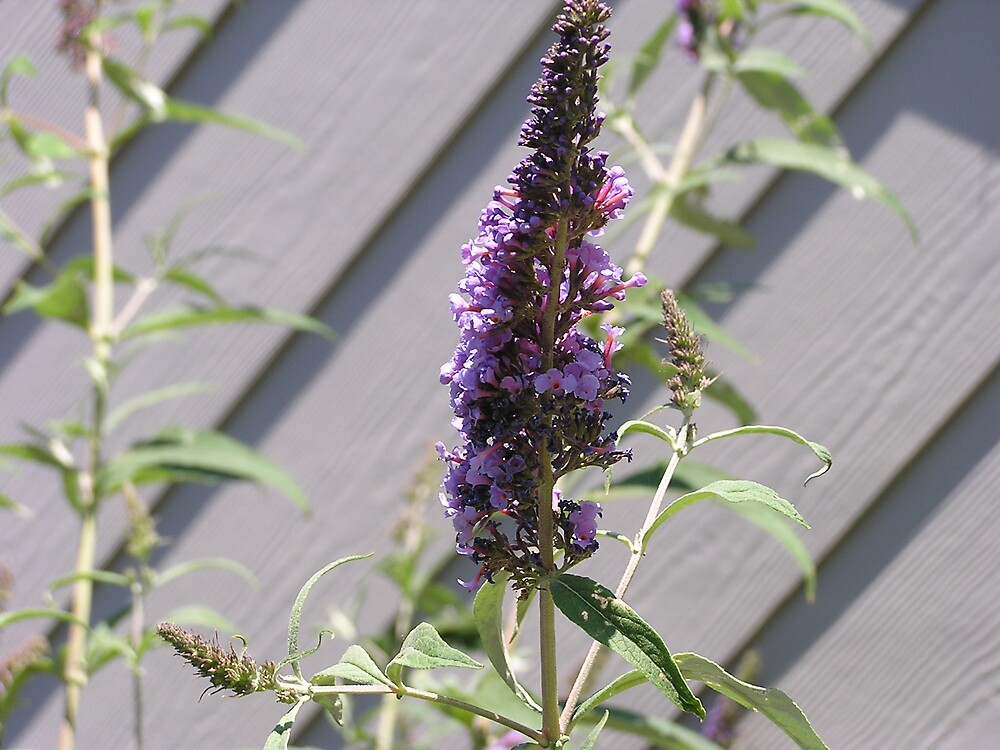 LavenderLove by kaybranky741