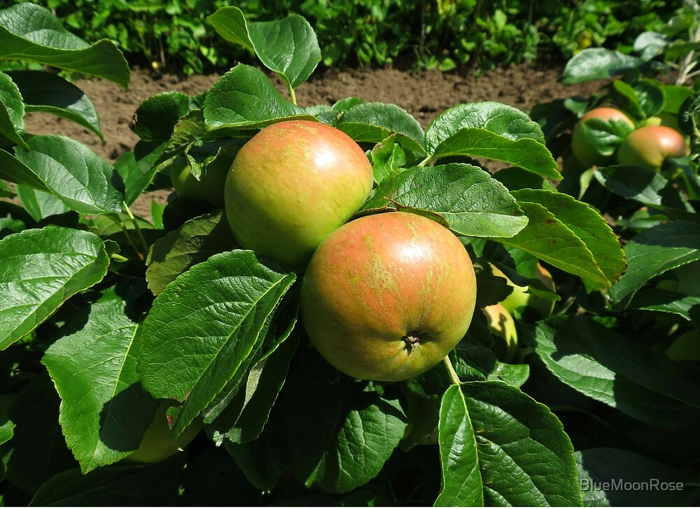 Apples Ripening In The Sunshine - Heligan by BlueMoonRose