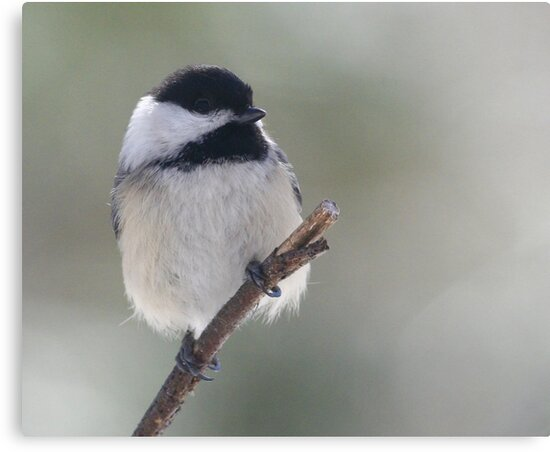 Black-capped Chickadee  by Enola Wagner