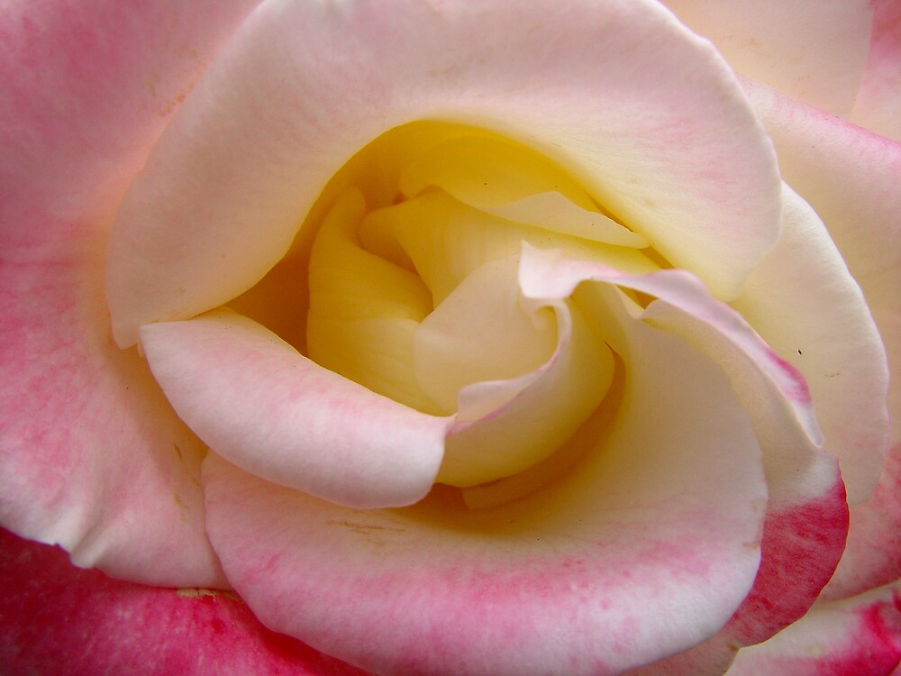Rose by Chris Filer