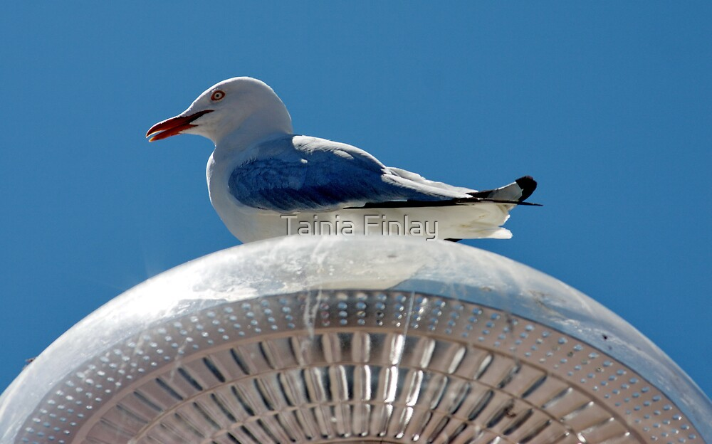 Operatic Gull by Tainia Finlay