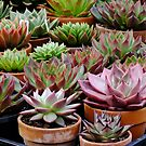 Echeveria Agavoides Collection by Gabrielle  Lees