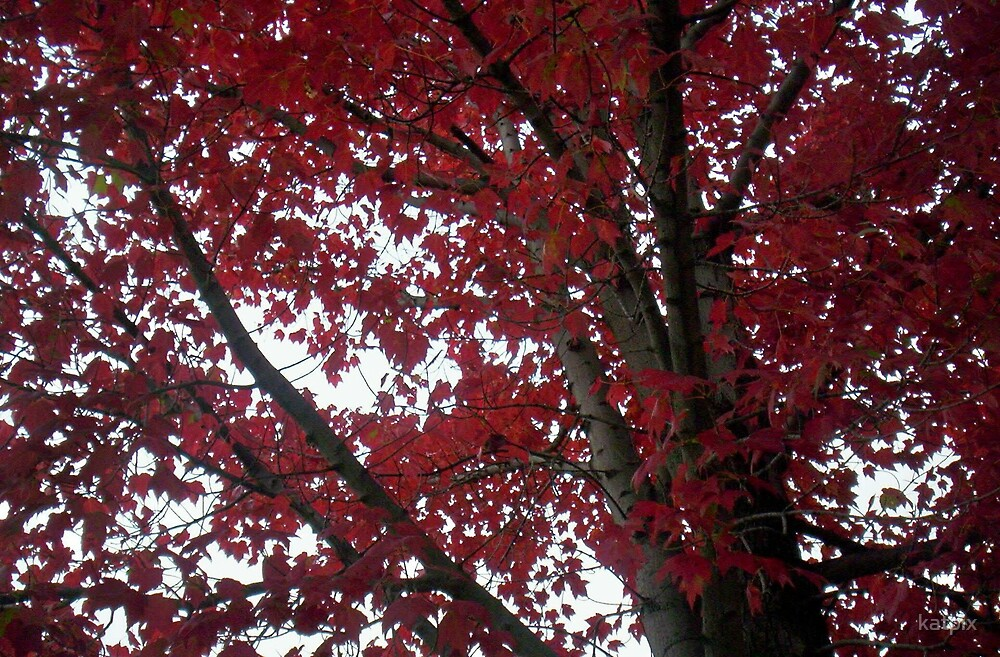 Red Maple in September by katpix