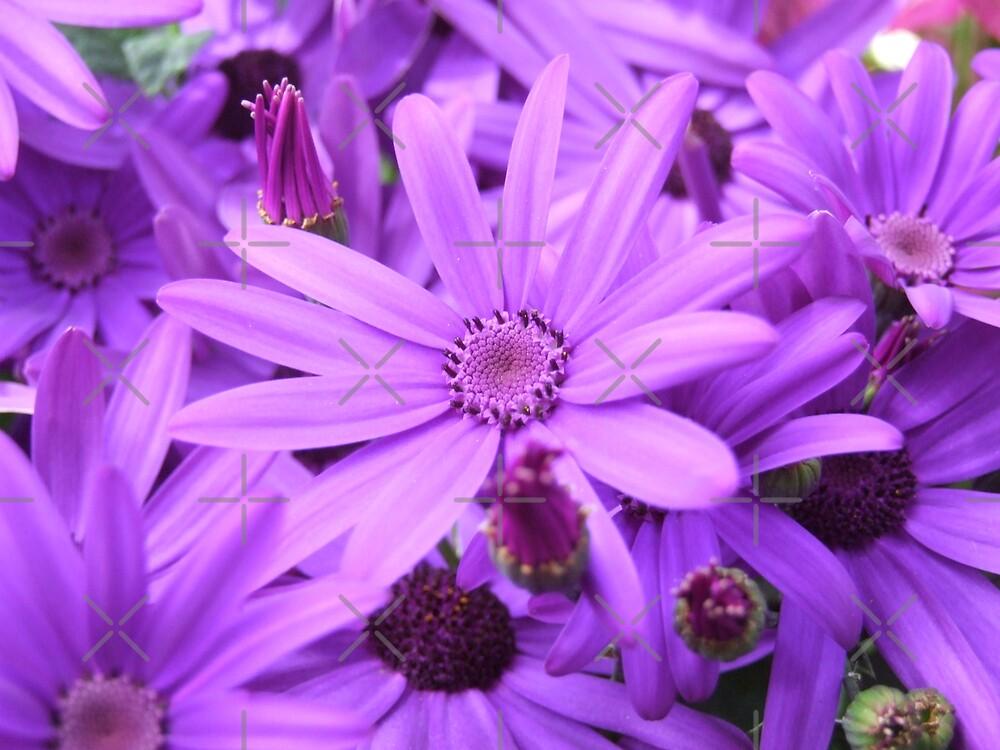Purple Daisy by EventHorizon