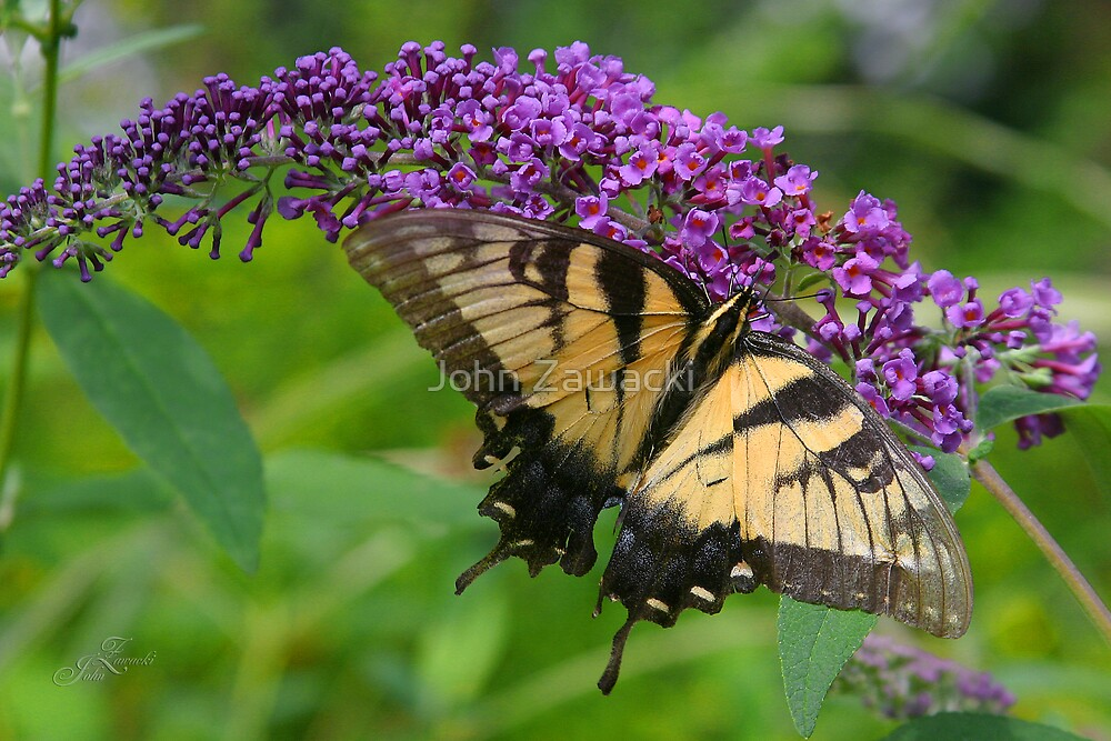 Yellow \Swallow Tail butterfly by John Zawacki