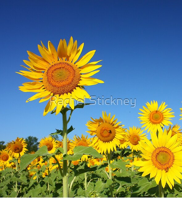 Sunflower Field by Rachel Stickney