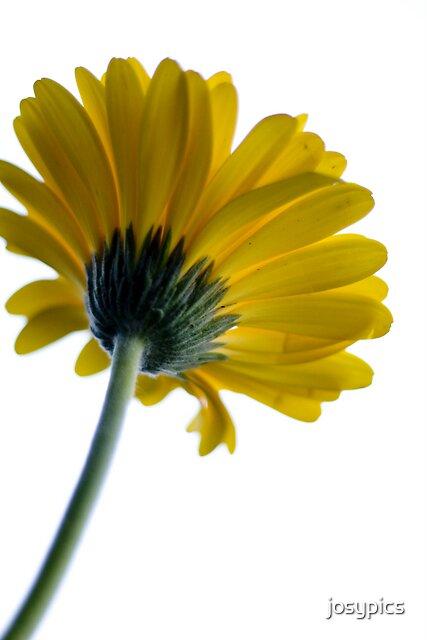 Yellow flower by josypics