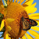 Sitting Pretty on a Sunflower by Rachel Stickney