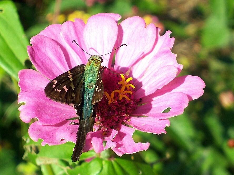Butterfly-Skipper by DottieDees