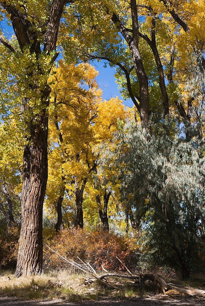 Autumn Cottonwoods by Linda J Armstrong