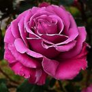 Rose by Nikki Collier