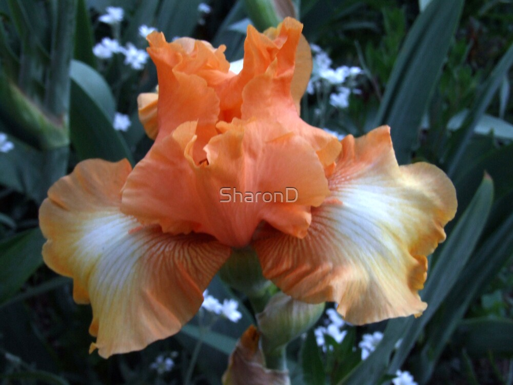 Iris 9 by SharonD