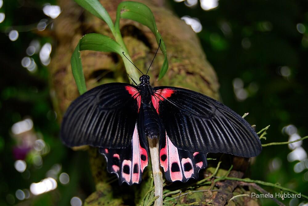 Common Mormon Butterfly by Pamela Hubbard