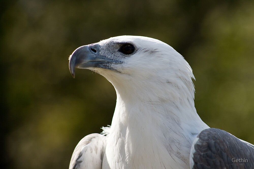 White Bellied Sea Eagle by Gethin