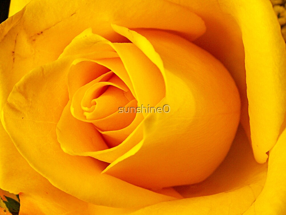 The Yellow Rose of Texas by sunshine0