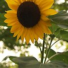 Back-lit Sunflower, Late Afternoon by Anna Lisa Yoder