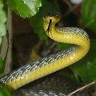 Green Tree Snake, Dendrelaphis punctulata - Threat Display by peterstreet