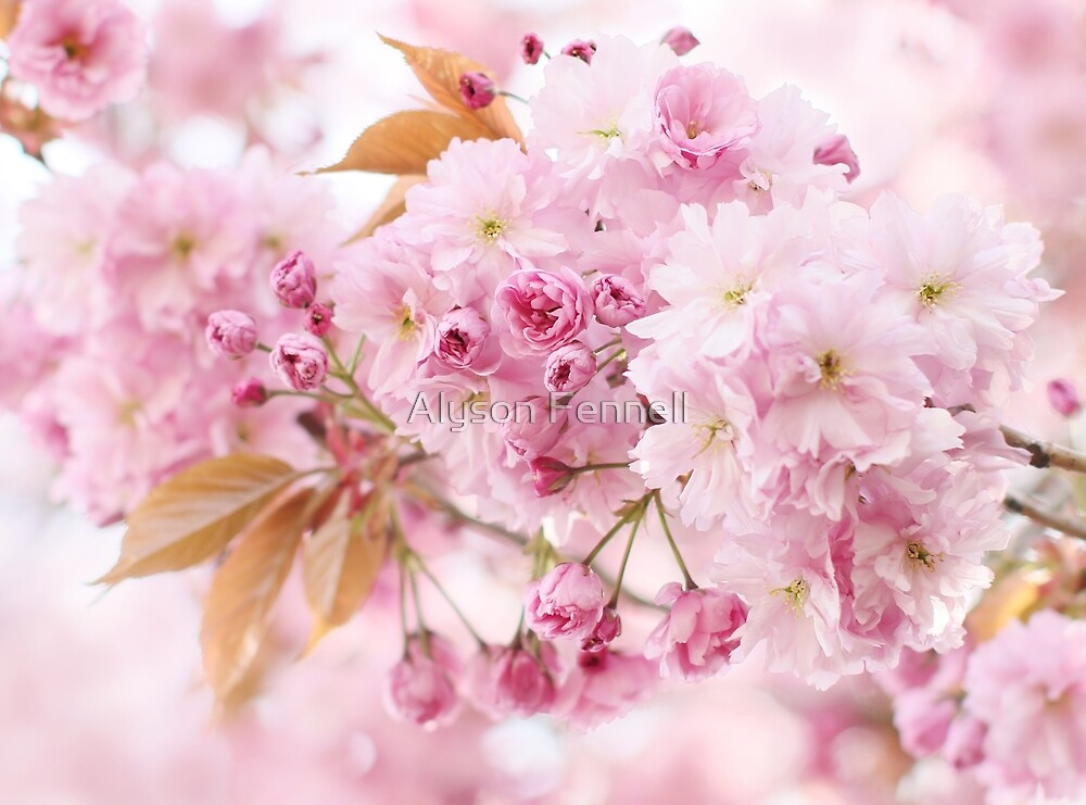 Pink Cherry Blossom by Alyson Fennell