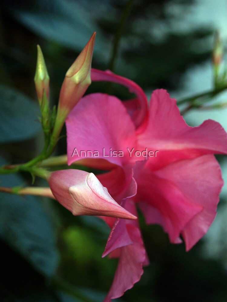 Mandevilla Flower and Bud by Anna Lisa Yoder