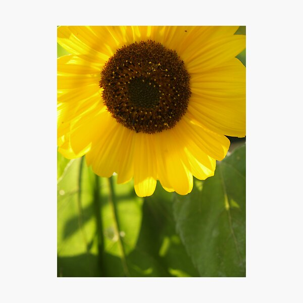 Sunflower in Late Afternoon Photographic Print