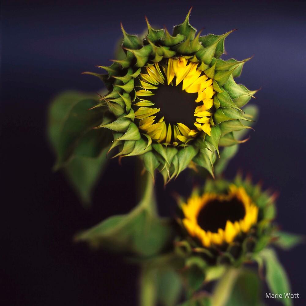 Sunflower by Marie Watt
