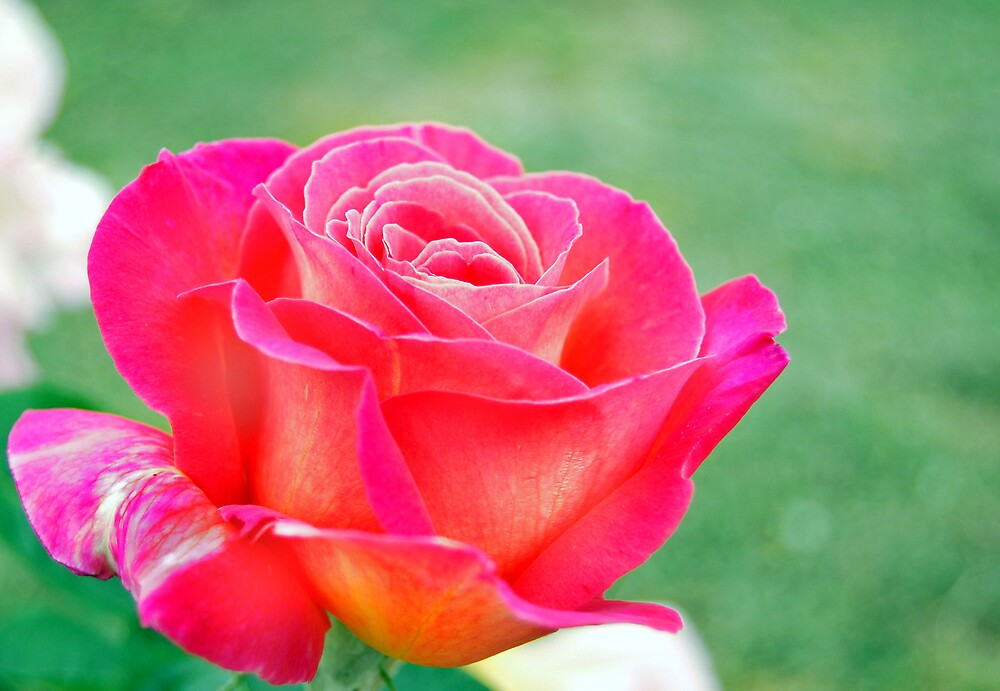 Rose against soft green background by Samben Photography