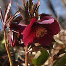 Lenten Rose in Woods by Anna Lisa Yoder