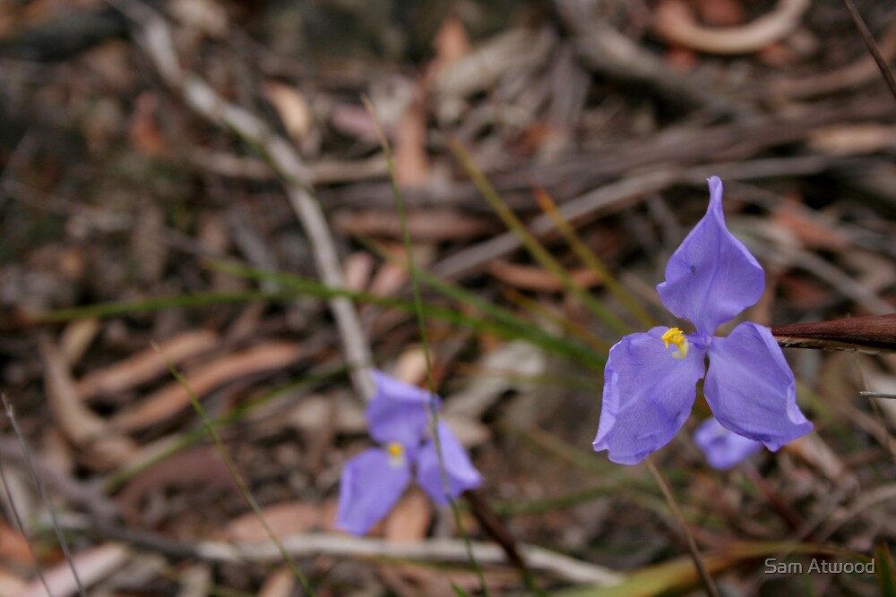 Purple Flag - _Patersonia sp_ by Sam Atwood