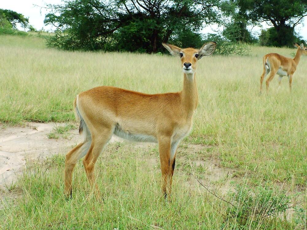 Grants Gazelle Murchison Falls National  Park Uganda by thesmiff
