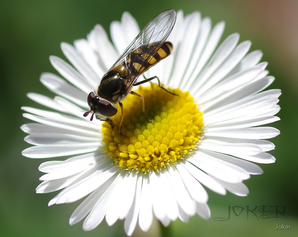 HOVER FLY  by Joker