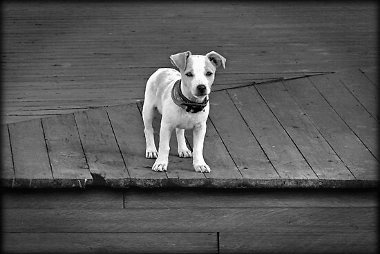 Jack Russell by jimijack