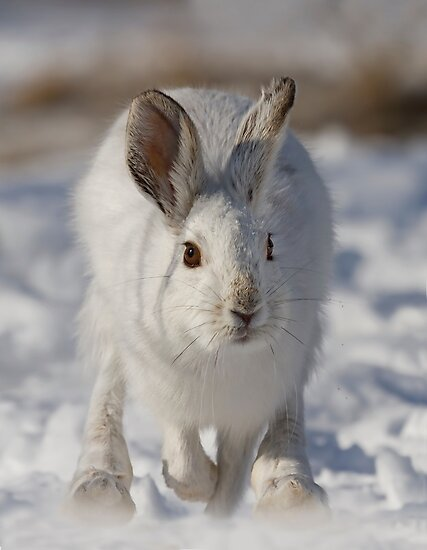Snowshoe hare on the run by Jim Cumming