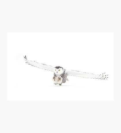 Snowy Owl on the hunt Photographic Print