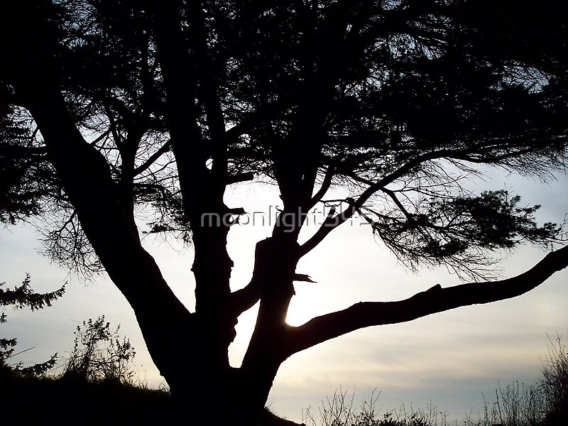 Shore Pine, Enderts Beach Overlook by moonlight545