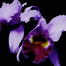 Orchid Elegance by AngieDavies