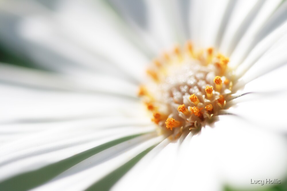 Glistening Daisy by Lucy Hollis