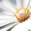 Glistening Daisy by Lucy Hollis
