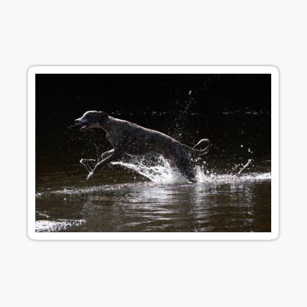 Whippet playing in water Sticker