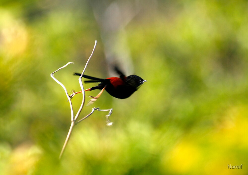 I'm off! (Red Back Fairy Wren) by Normf
