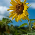 Sunflower and Blue Skies by Debra Fedchin