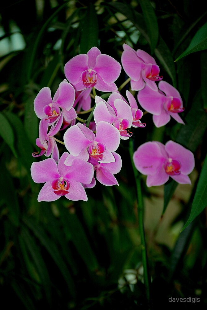 LOVELY ORCHIDS by davesdigis